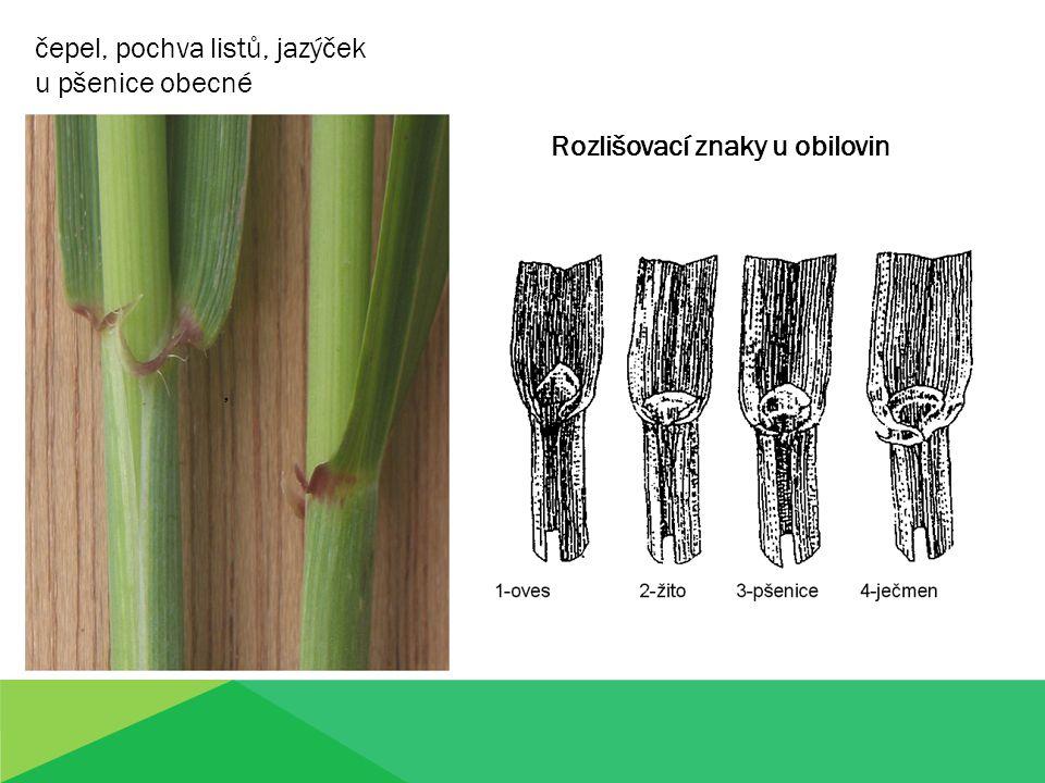 ,,, čepel, pochva listů, jazýček u pšenice obecné Rozlišovací znaky u obilovin