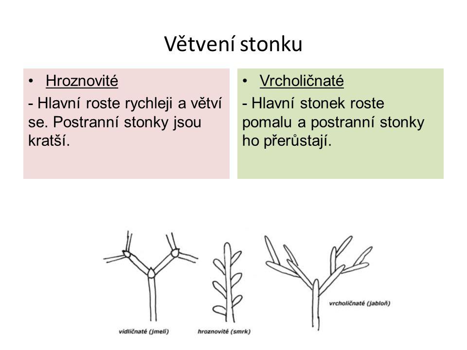 Větvení stonku Hroznovité - Hlavní roste rychleji a větví se.