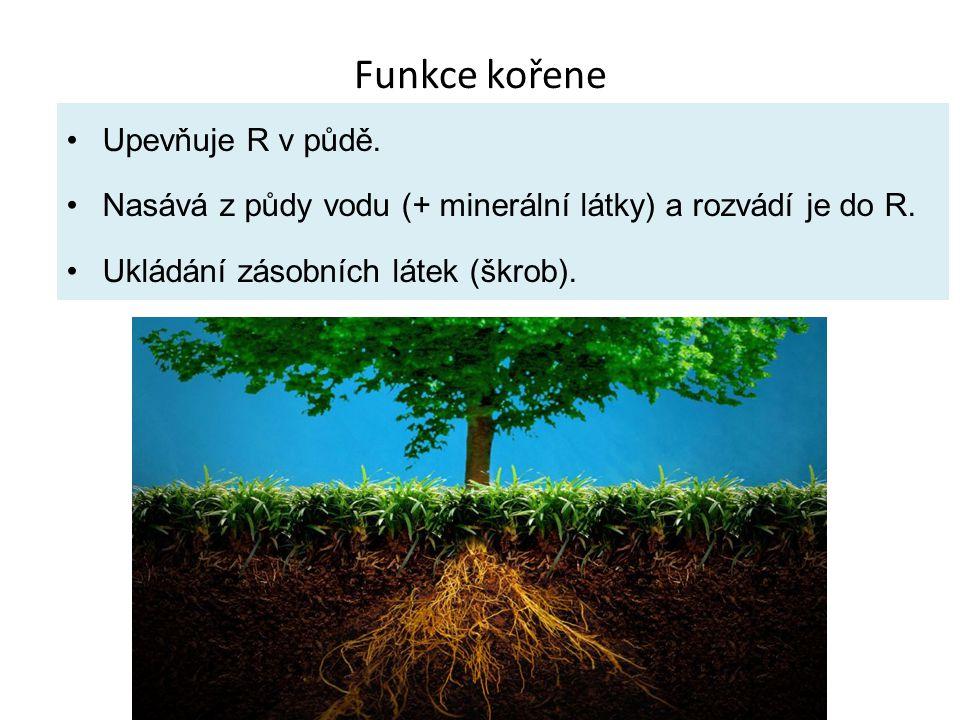 Funkce kořene Upevňuje R v půdě.Nasává z půdy vodu (+ minerální látky) a rozvádí je do R.