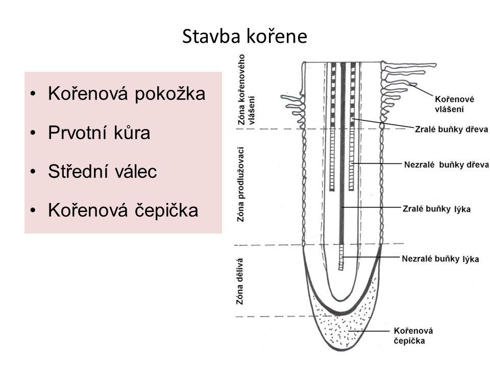 Stavba kořene Kořenová pokožka Prvotní kůra Střední válec Kořenová čepička