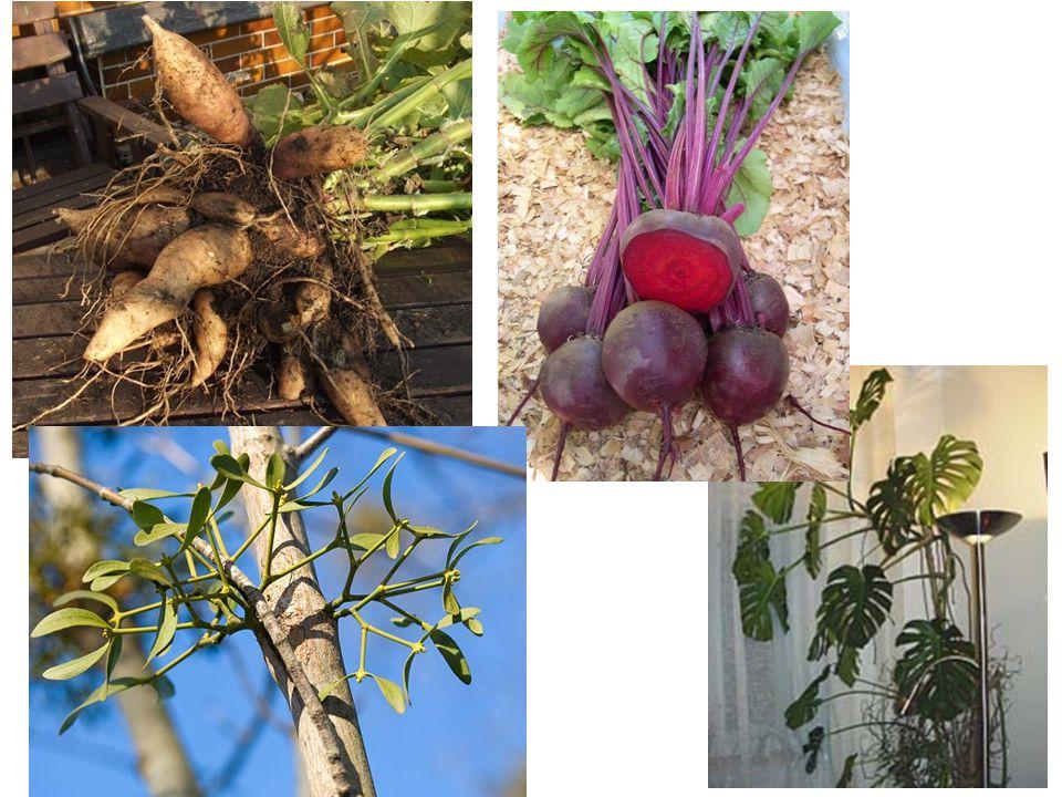 Význam kořene Hospodářský význam – kořenová zelenina (mrkev, petržel, křen).