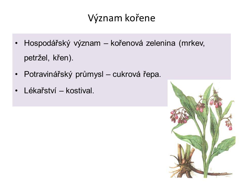 Stonek Funkce stonku Nese ostatní orgány R (listy, květy, plody).