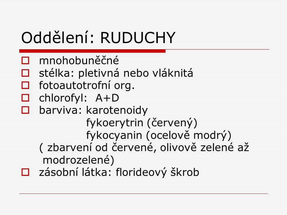 Oddělení: RUDUCHY  mnohobuněčné  stélka: pletivná nebo vláknitá  fotoautotrofní org.  chlorofyl: A+D  barviva: karotenoidy fykoerytrin (červený)