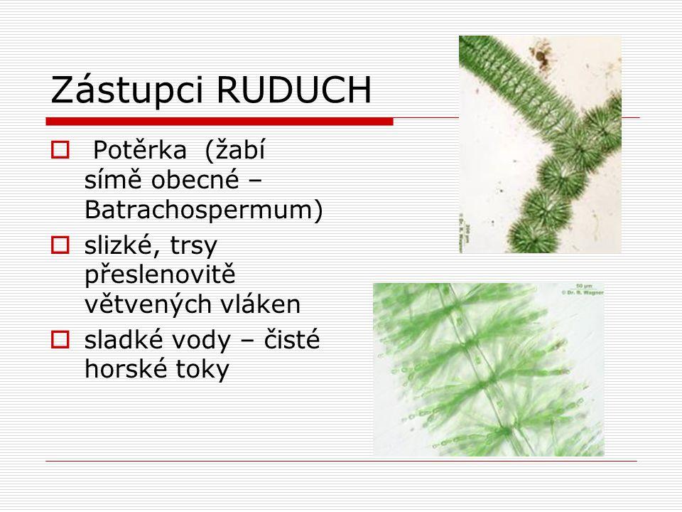 Zástupci RUDUCH  Potěrka (žabí símě obecné – Batrachospermum)  slizké, trsy přeslenovitě větvených vláken  sladké vody – čisté horské toky