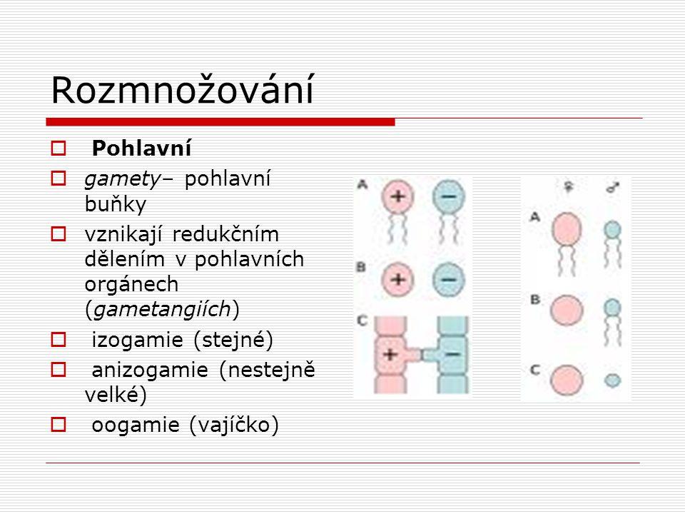 Rozmnožování  Pohlavní  gamety– pohlavní buňky  vznikají redukčním dělením v pohlavních orgánech (gametangiích)  izogamie (stejné)  anizogamie (n