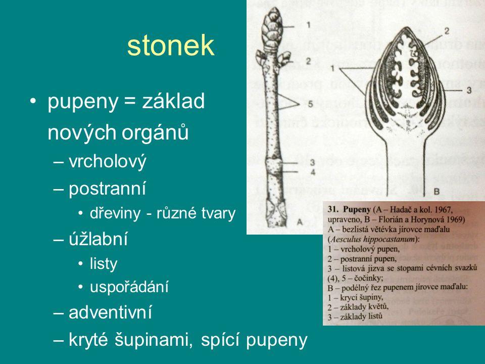 stonek pupeny = základ nových orgánů –vrcholový –postranní dřeviny - různé tvary –úžlabní listy uspořádání –adventivní –kryté šupinami, spící pupeny