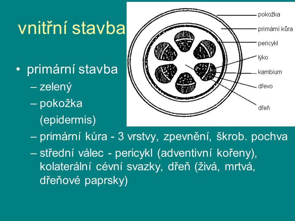vnitřní stavba primární stavba –zelený –pokožka (epidermis) –primární kůra - 3 vrstvy, zpevnění, škrob. pochva –střední válec - pericykl (adventivní k