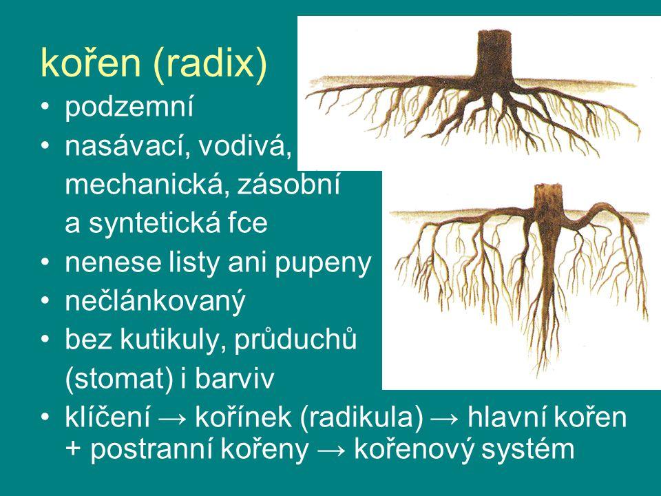 kořen (radix) podzemní nasávací, vodivá, mechanická, zásobní a syntetická fce nenese listy ani pupeny nečlánkovaný bez kutikuly, průduchů (stomat) i b