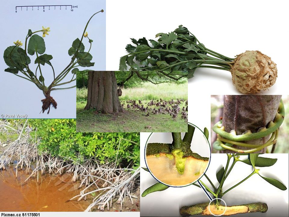 kořen hospodářský význam –potrava (kořenová zelenina) –krmivo pro zvířata (řepa) –potravinářský průmysl (cukrová řepa) –výroba léčiv (kostival, čekanka) –eroze –kořenové čistírny (rákos)