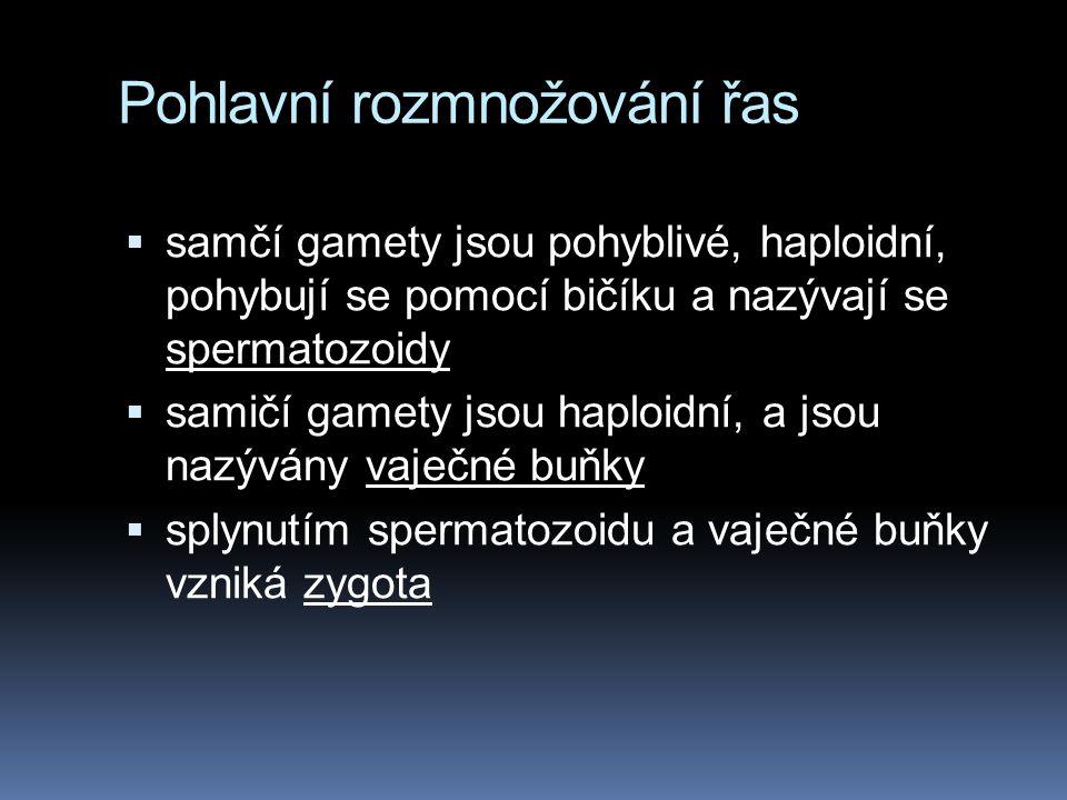 Pohlavní rozmnožování řas  samčí gamety jsou pohyblivé, haploidní, pohybují se pomocí bičíku a nazývají se spermatozoidy  samičí gamety jsou haploid