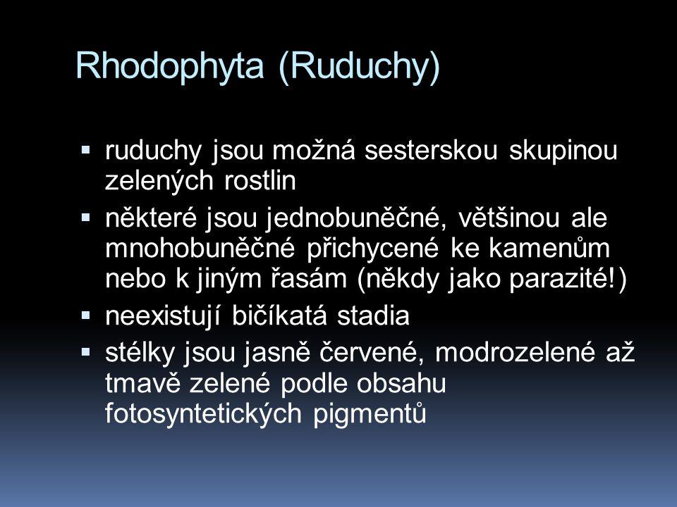 Rhodophyta (Ruduchy)  ruduchy jsou možná sesterskou skupinou zelených rostlin  některé jsou jednobuněčné, většinou ale mnohobuněčné přichycené ke ka