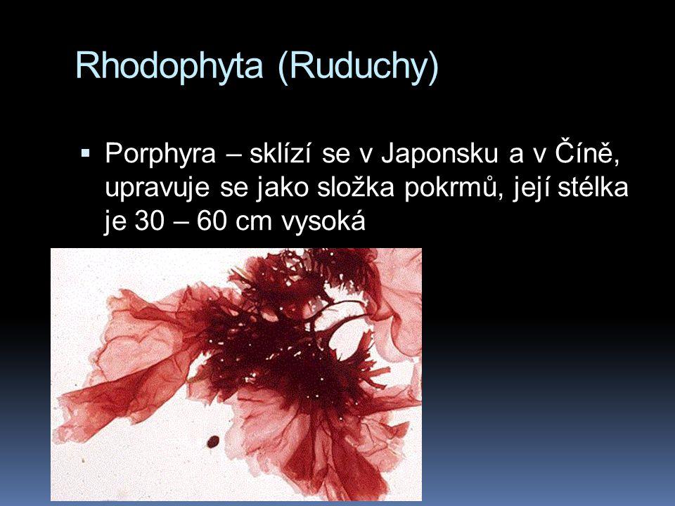 Rhodophyta (Ruduchy)  Porphyra – sklízí se v Japonsku a v Číně, upravuje se jako složka pokrmů, její stélka je 30 – 60 cm vysoká