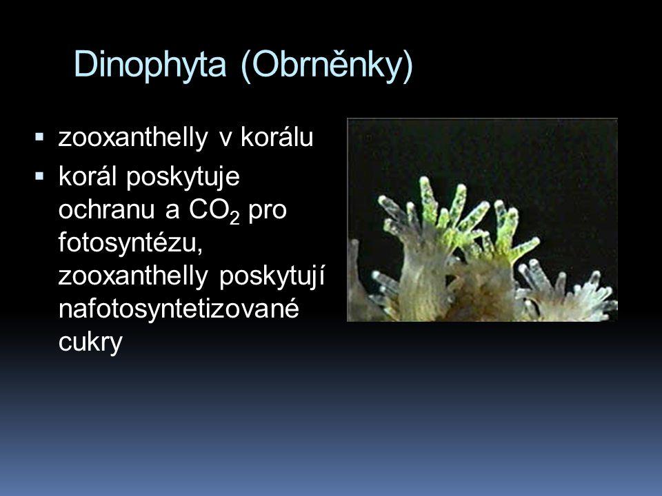 Dinophyta (Obrněnky)  zooxanthelly v korálu  korál poskytuje ochranu a CO 2 pro fotosyntézu, zooxanthelly poskytují nafotosyntetizované cukry