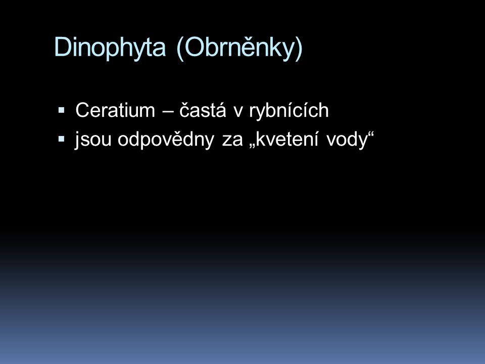 """Dinophyta (Obrněnky)  Ceratium – častá v rybnících  jsou odpovědny za """"kvetení vody"""""""