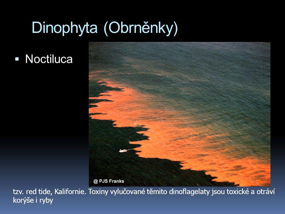 Dinophyta (Obrněnky)  Noctiluca tzv. red tide, Kalifornie. Toxiny vylučované těmito dinoflagelaty jsou toxické a otráví korýše i ryby