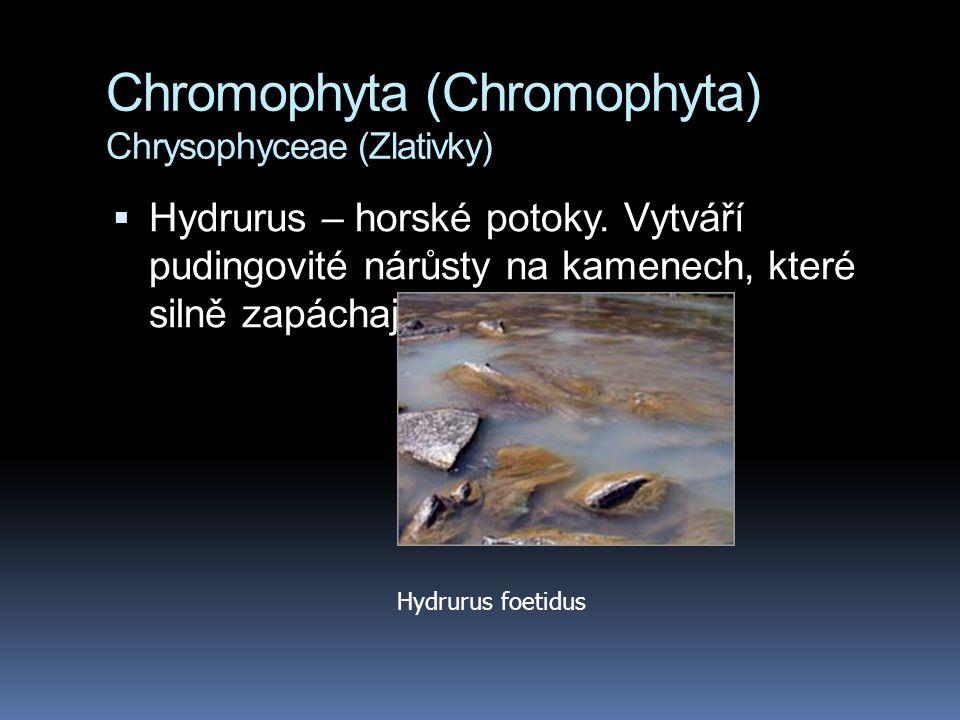 Chromophyta (Chromophyta) Chrysophyceae (Zlativky)  Hydrurus – horské potoky. Vytváří pudingovité nárůsty na kamenech, které silně zapáchají Hydrurus