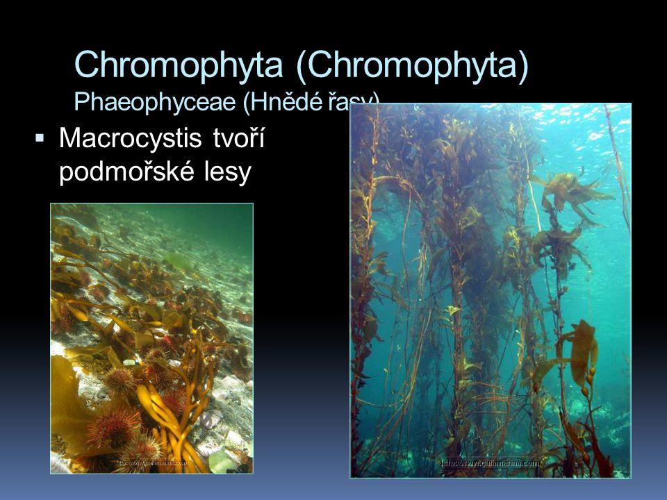 Chromophyta (Chromophyta) Phaeophyceae (Hnědé řasy)  Macrocystis tvoří podmořské lesy