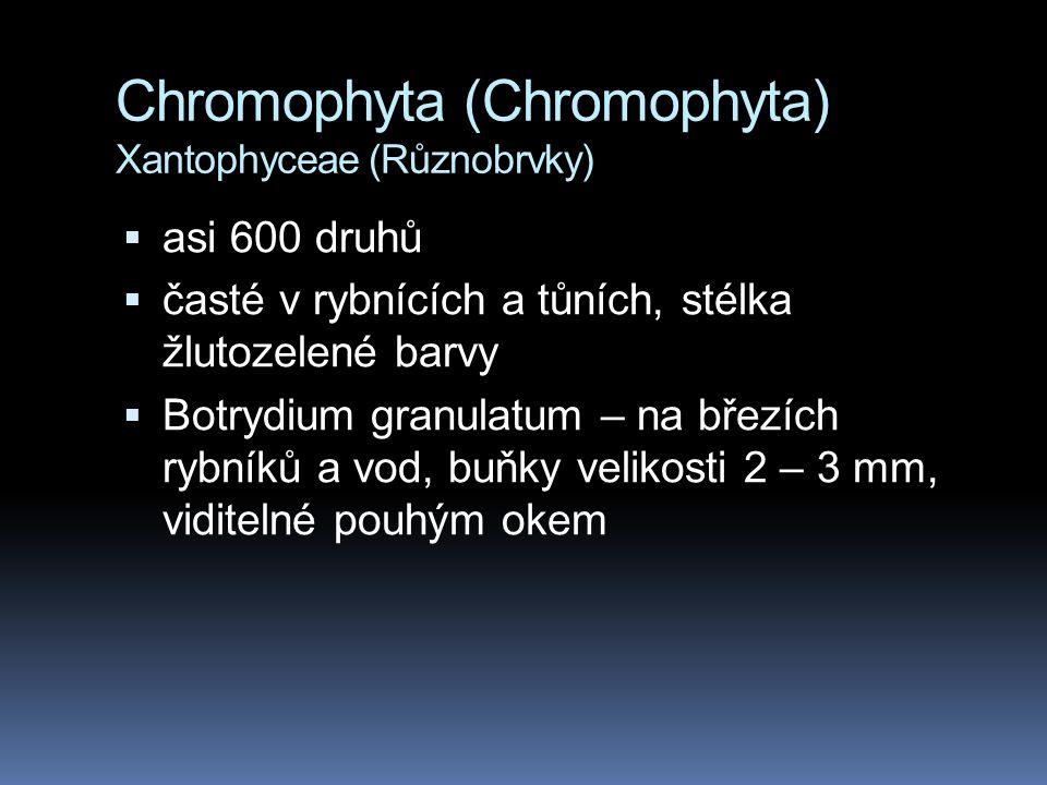 Chromophyta (Chromophyta) Xantophyceae (Různobrvky)  asi 600 druhů  časté v rybnících a tůních, stélka žlutozelené barvy  Botrydium granulatum – na