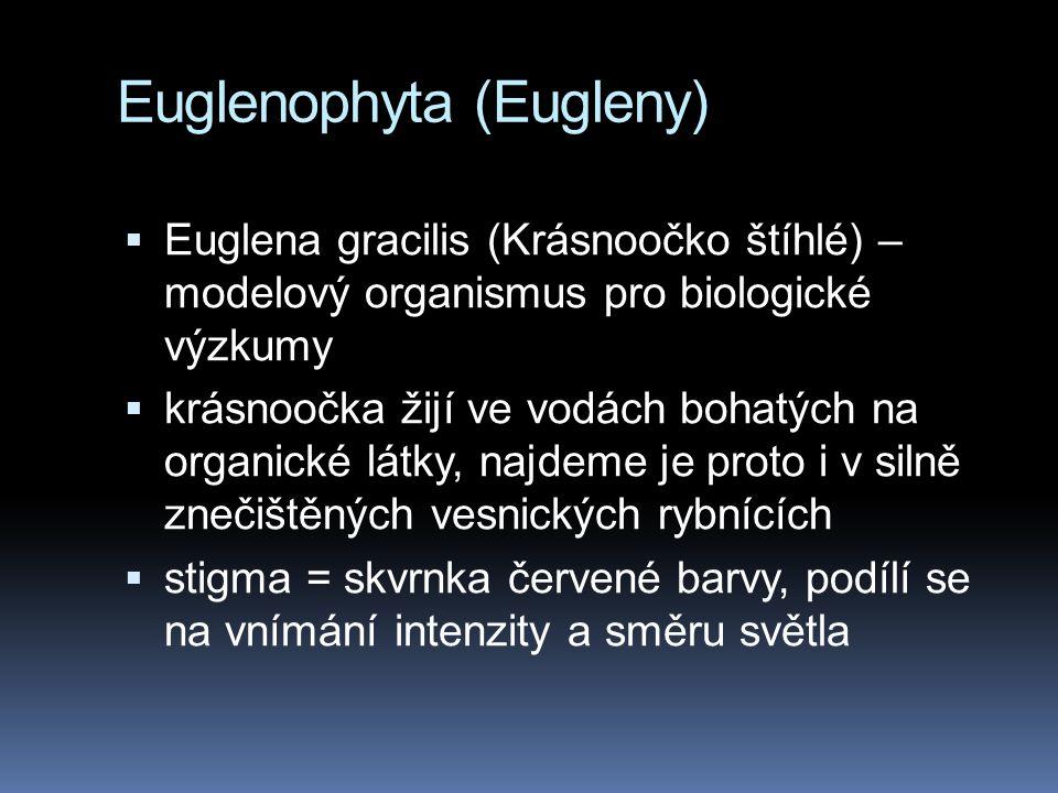 Euglenophyta (Eugleny)  Euglena gracilis (Krásnoočko štíhlé) – modelový organismus pro biologické výzkumy  krásnoočka žijí ve vodách bohatých na org