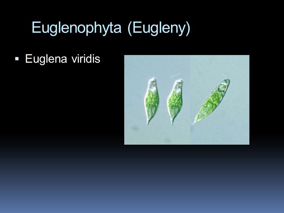 Euglenophyta (Eugleny)  Euglena viridis
