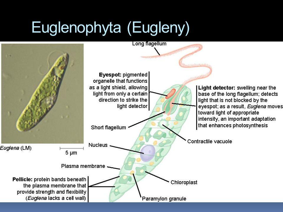 Euglenophyta (Eugleny)