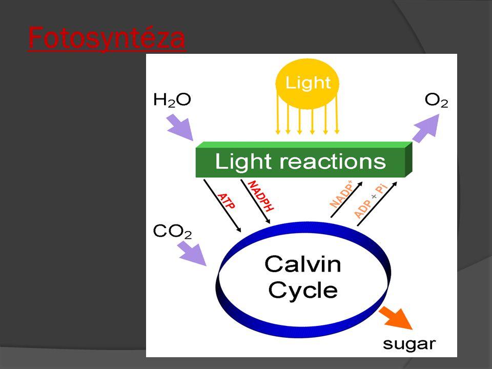 Sacharidy - dělení ≈ podle počtu uhlíkových atomů v řetězci  Monosacharidy  Oligosacharidy  Polysacharidy  V molekulách sacharidů jsou obsaženy atomy tří prvků - uhlíku, vodíku a kyslíku.