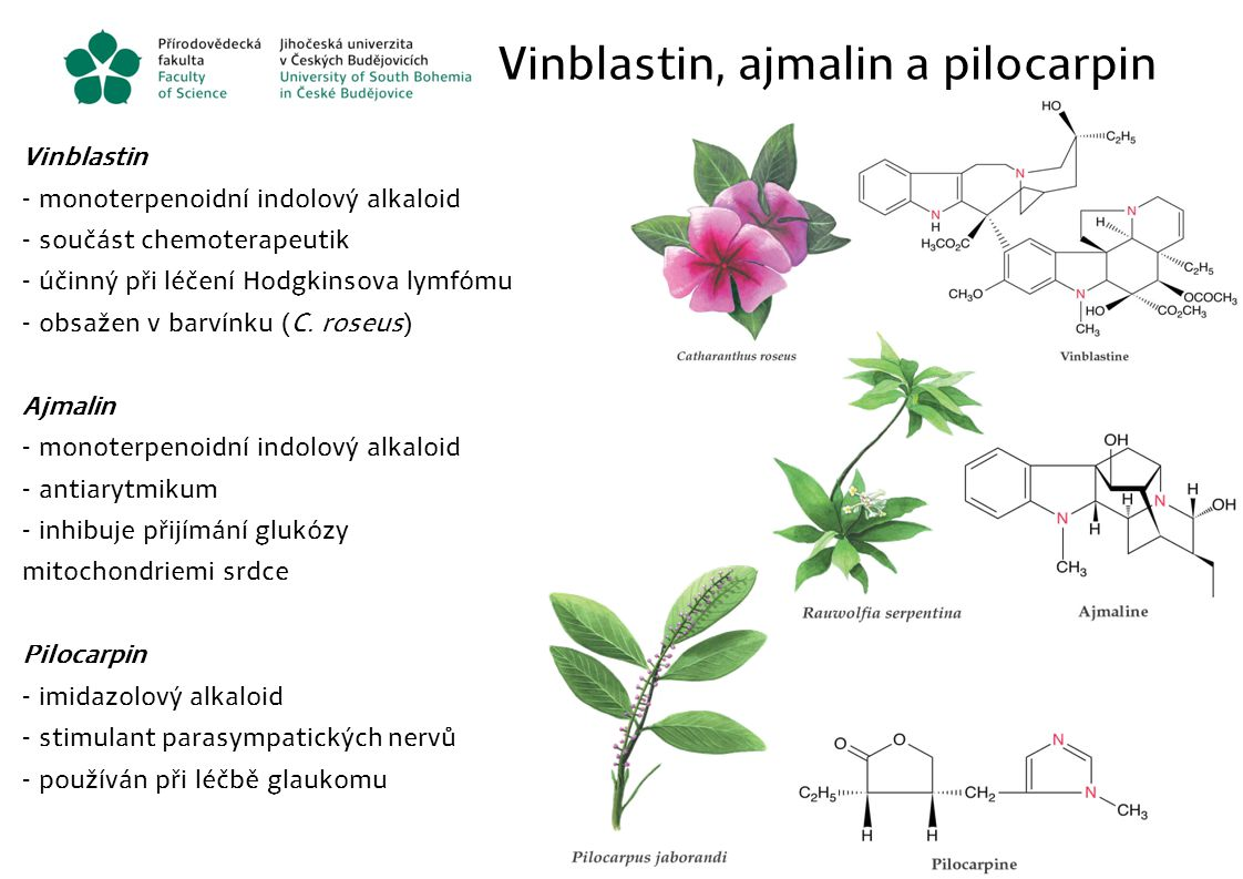 Vinblastin, ajmalin a pilocarpin Vinblastin - monoterpenoidní indolový alkaloid - součást chemoterapeutik - účinný při léčení Hodgkinsova lymfómu - ob