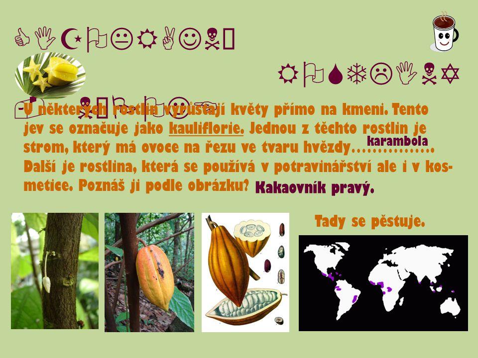 CIZOKRAJNÉ ROSTLINY - NÁPOJE U některých rostlin vyrůstají květy přímo na kmeni. Tento jev se označuje jako kauliflorie. Jednou z těchto rostlin je st