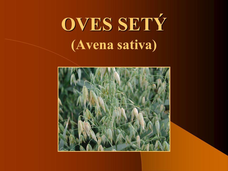 SOŠS a SOU KadaňObilniny - Oves setý2 Hospodářský význam ovsa setého  Oves patří mezi důležité krmné a potravinářské plodiny.