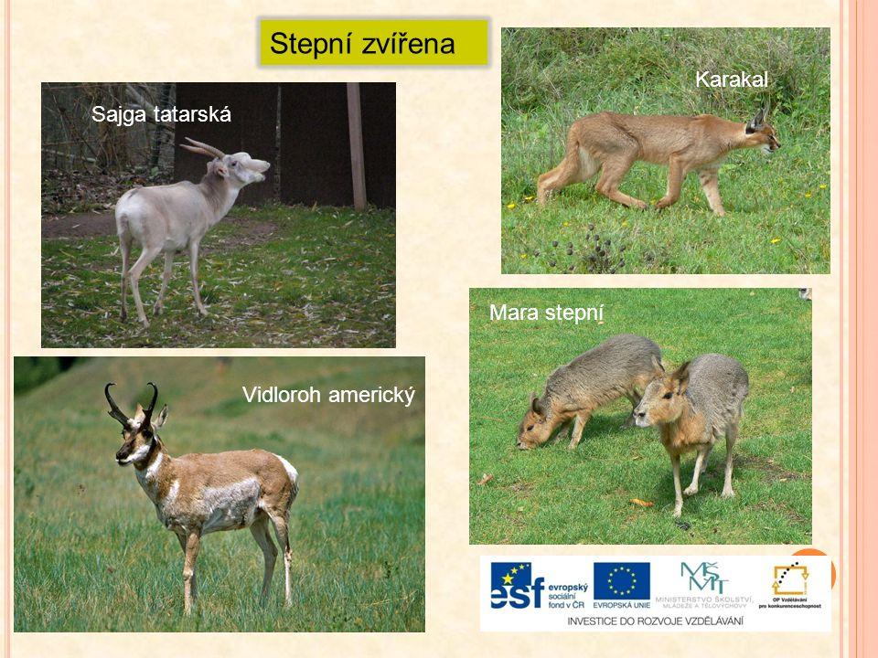 Stepní zvířena Sajga tatarská Karakal Vidloroh americký Mara stepní