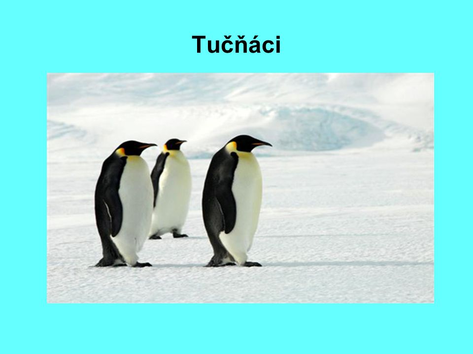 Tučňáci