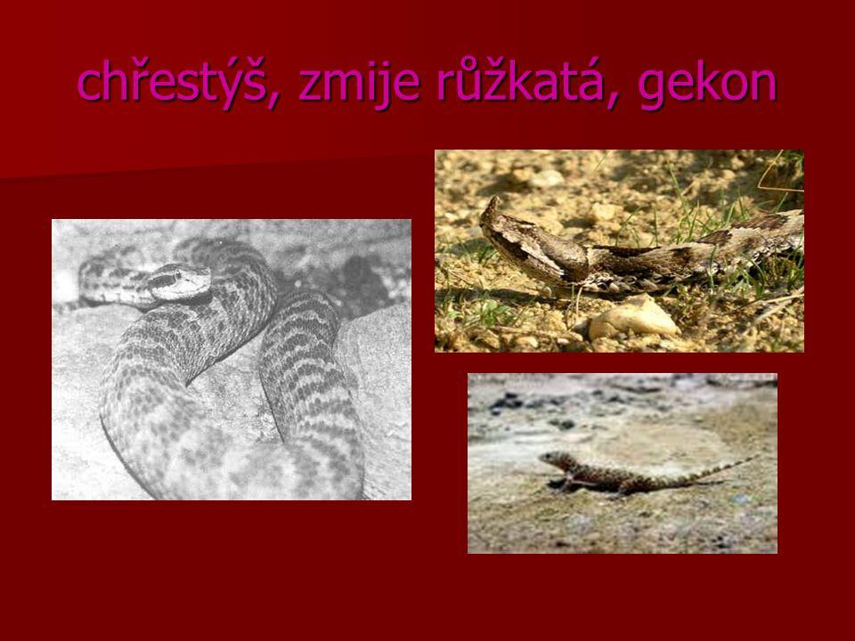chřestýš, zmije růžkatá, gekon