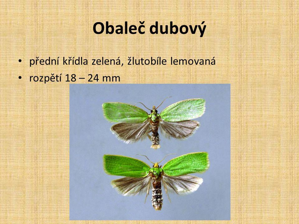 Obaleč dubový přední křídla zelená, žlutobíle lemovaná rozpětí 18 – 24 mm