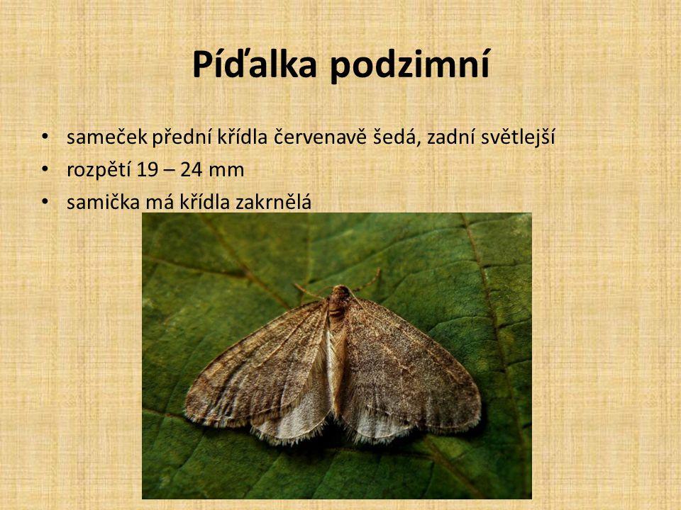 Píďalka podzimní sameček přední křídla červenavě šedá, zadní světlejší rozpětí 19 – 24 mm samička má křídla zakrnělá