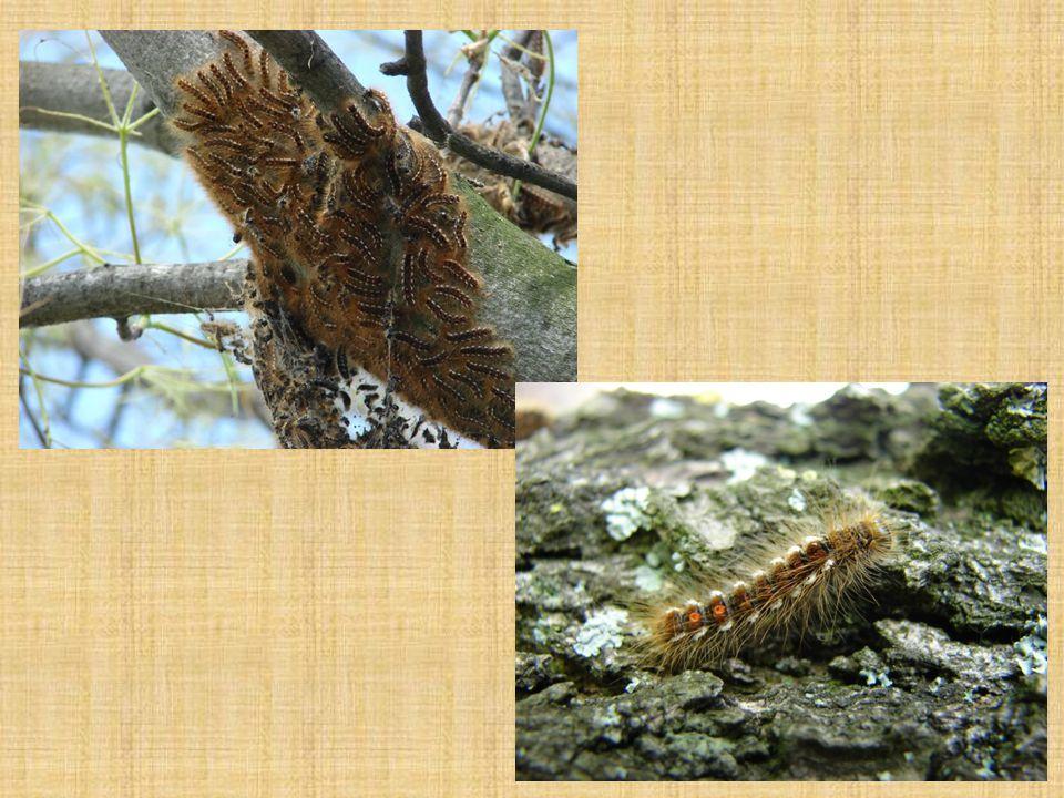 Bourovec prsténčivý červenohnědý motýl, rozpětí 25 – 40 mm housenka hnědá s bílou podélnou hřbetní čarou, modrými bočními proužky, je dlouhá až 50 mm rojí se v červenci za soumraku samička klade 200 – 400 vajíček do prstence kolem větviček housenky žerou společně, větvičky, listy, pupeny za nepříznivého počasí se uchylují do zámotku škodí na ovocných stromech, dubech, habrech, bucích, břízách