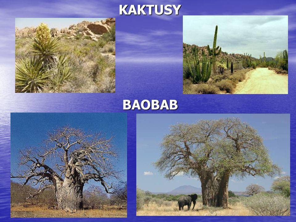 KAKTUSY KAKTUSY BAOBAB BAOBAB