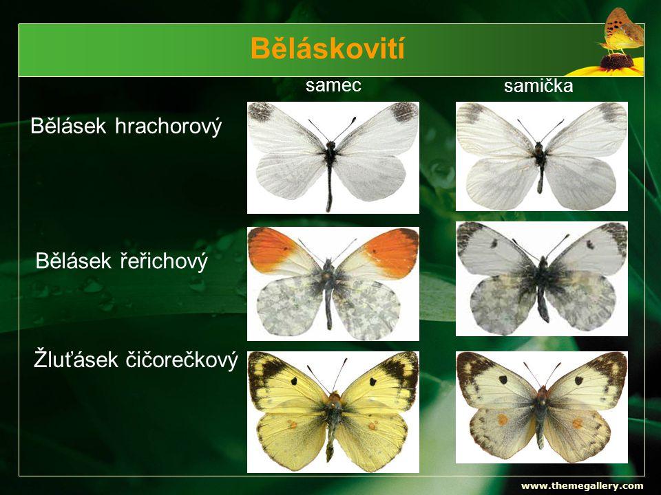 www.themegallery.com Běláskovití samec samička Bělásek hrachorový Bělásek řeřichový Žluťásek čičorečkový