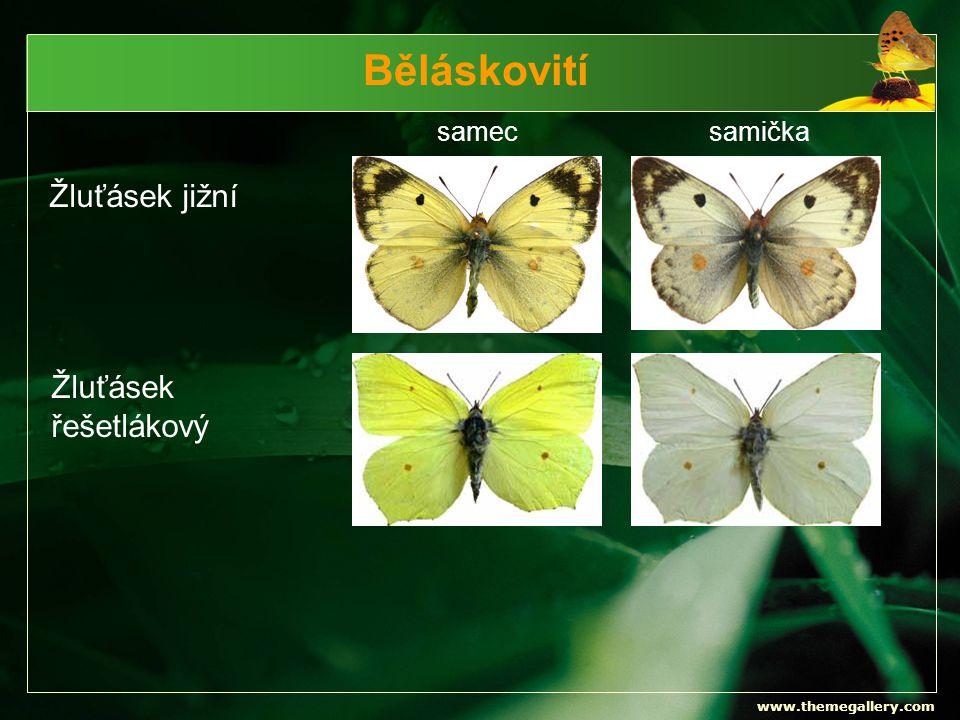 www.themegallery.com Běláskovití samecsamička Žluťásek jižní Žluťásek řešetlákový
