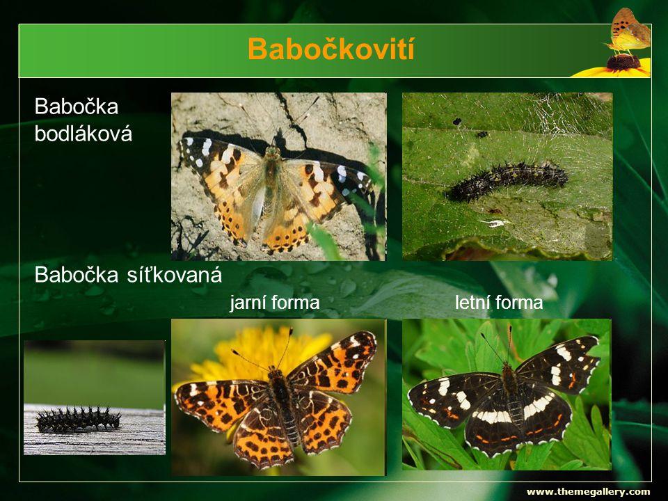 www.themegallery.com Babočkovití Babočka bodláková jarní formaletní forma Babočka síťkovaná