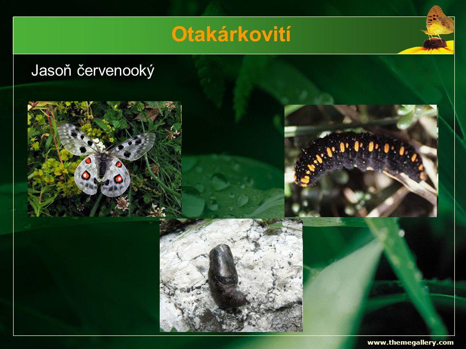 www.themegallery.com Otakárkovití Jasoň červenooký