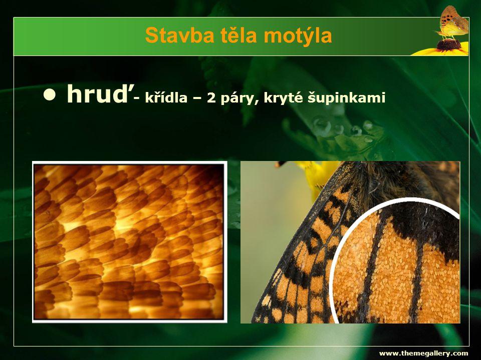 www.themegallery.com Stavba těla motýla - končetiny – 3 páry => kráčivé Stavba nohy hmyzu: 1 - kyčle 2 - příkyčlí 3 - stehno 4 - holeň 5 - článkované chodilo zakončené drápkem
