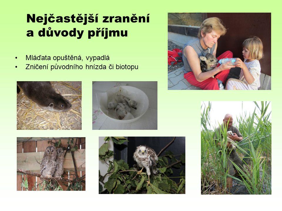 Nejčastější zranění a důvody příjmu Mláďata opuštěná, vypadlá Zničení původního hnízda či biotopu