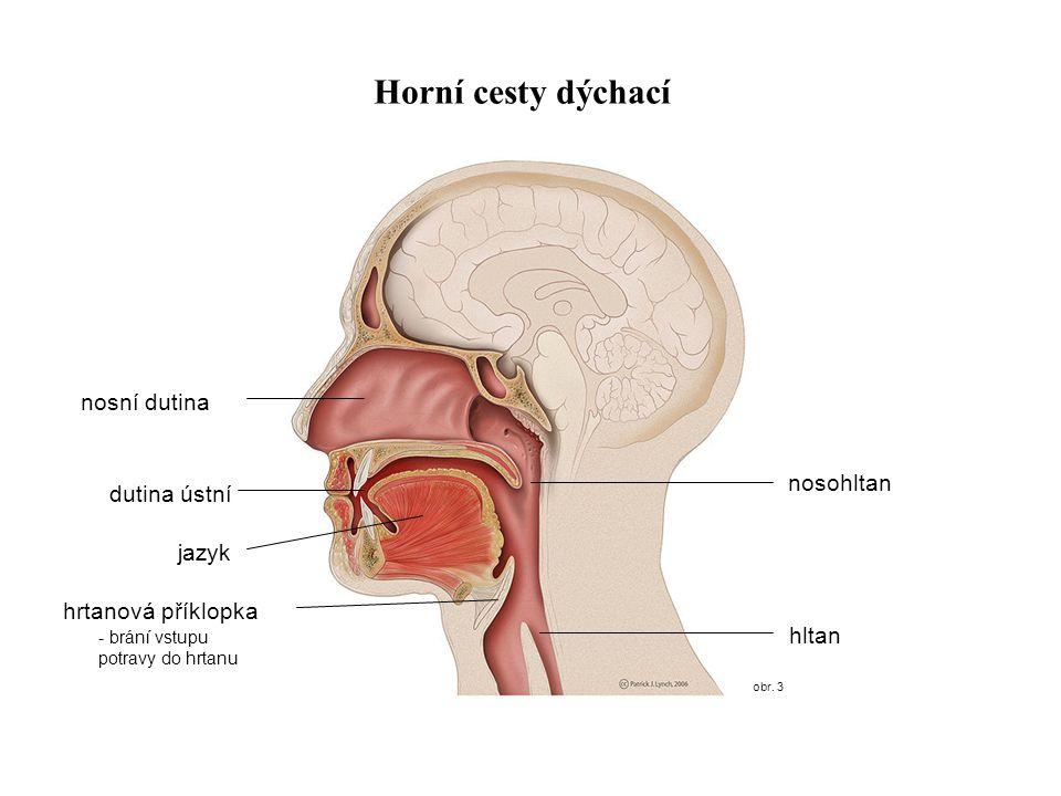 obr. 3 Horní cesty dýchací nosní dutina hrtanová příklopka hltan nosohltan dutina ústní jazyk - brání vstupu potravy do hrtanu