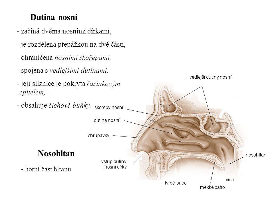 obr. 4 vstup dutiny - nosní dírky Dutina nosní - začíná dvěma nosními dírkami, - je rozdělena přepážkou na dvě části, - ohraničena nosními skořepami,