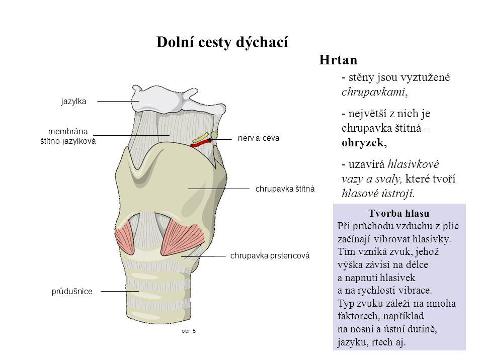 obr. 5 Dolní cesty dýchací jazylka membrána štítno-jazylková chrupavka štítná průdušnice Hrtan - stěny jsou vyztužené chrupavkami, - největší z nich j