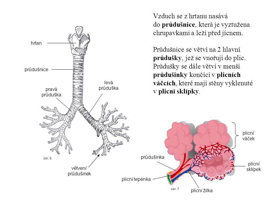 obr. 7 obr. 6 hrtan průdušnice pravá průduška levá průduška větvení průdušinek Vzduch se z hrtanu nasává do průdušnice, která je vyztužena chrupavkami