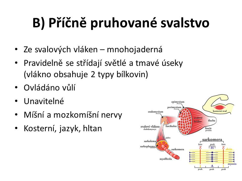 B) Příčně pruhované svalstvo Ze svalových vláken – mnohojaderná Pravidelně se střídají světlé a tmavé úseky (vlákno obsahuje 2 typy bílkovin) Ovládáno