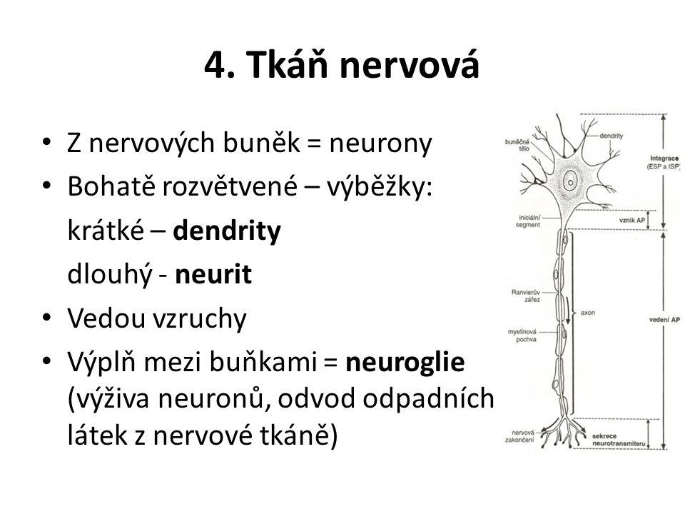 4. Tkáň nervová Z nervových buněk = neurony Bohatě rozvětvené – výběžky: krátké – dendrity dlouhý - neurit Vedou vzruchy Výplň mezi buňkami = neurogli