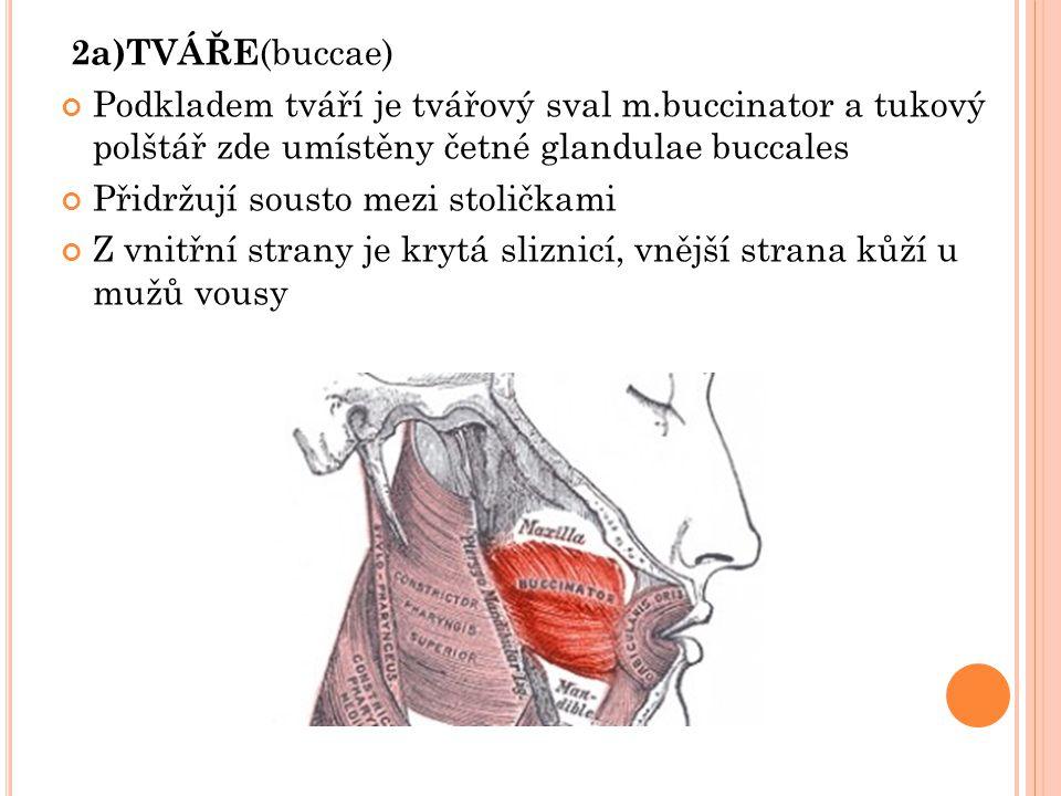 2a)TVÁŘE (buccae) Podkladem tváří je tvářový sval m.buccinator a tukový polštář zde umístěny četné glandulae buccales Přidržují sousto mezi stoličkami