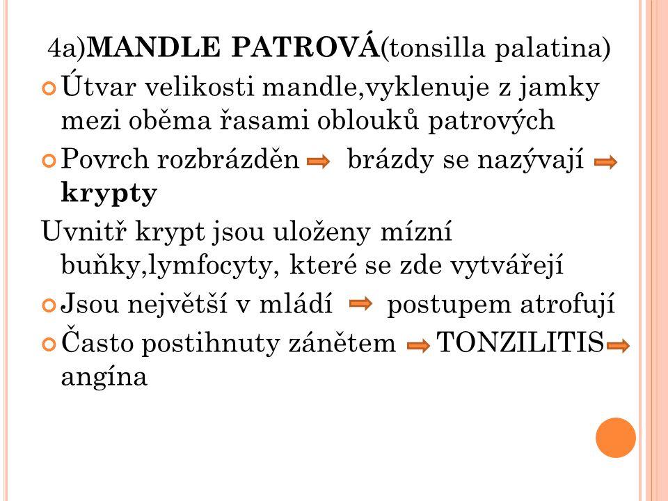4a) MANDLE PATROVÁ (tonsilla palatina) Útvar velikosti mandle,vyklenuje z jamky mezi oběma řasami oblouků patrových Povrch rozbrázděn brázdy se nazýva